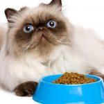 Cara Memberi Makanan Kucing Persia Kesayangan